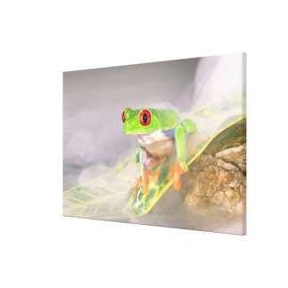 Red Eye Treefrog in the mist, Agalychinis Canvas Print