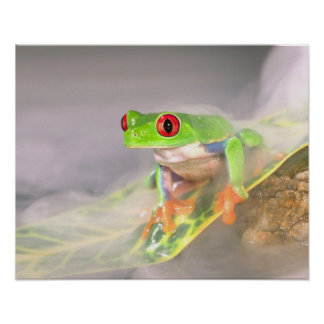 Red Eye Treefrog in the mist, Agalychinis Poster