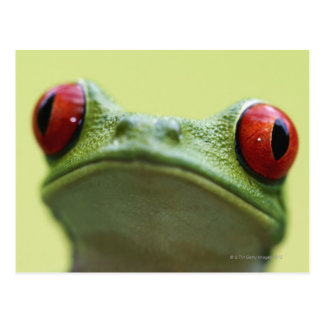 Red-eyed tree frog (Agalychnis callidryas) Postcard