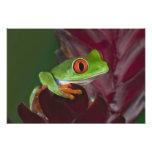 Red-eyed treefrog photo