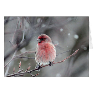 Red Finch Card