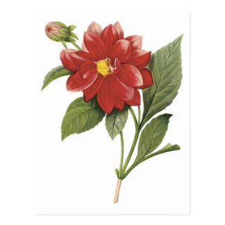 Red flower botanical illistration; Double dahlia Postcard