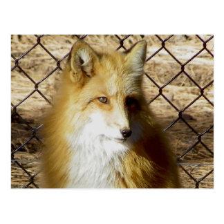 Red Fox BEARIZONA Postcard