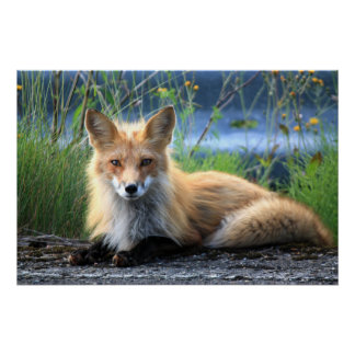 Red fox beautiful photo portrait poster, print