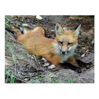 Red Fox - Chillin Postcard