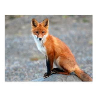 Red Fox cute beautiful photo postcard