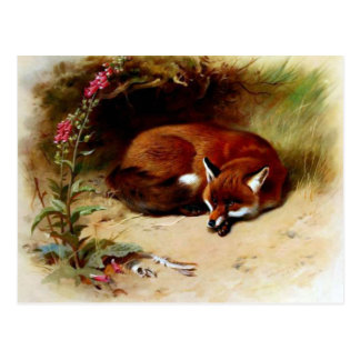 Red Fox in Front of Her Den Postcard