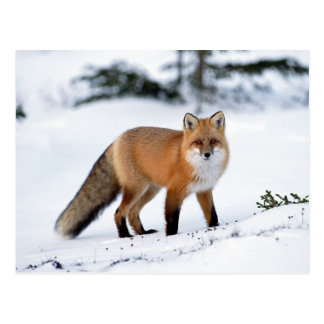 Red Fox in the Snow Postcard