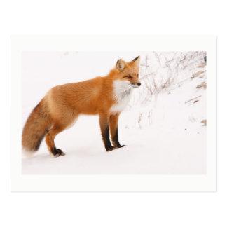 Red Fox Nature Wildlife Photo Postcard