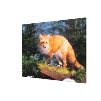 Red Fox on a log Canvas Print