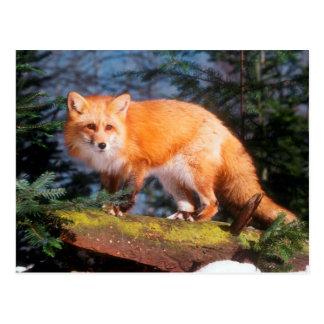 Red Fox on a log Postcard