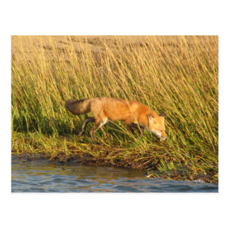 Red Fox Photograph Postcard