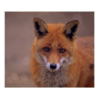 Red fox, portrait, close-up, view contact poster