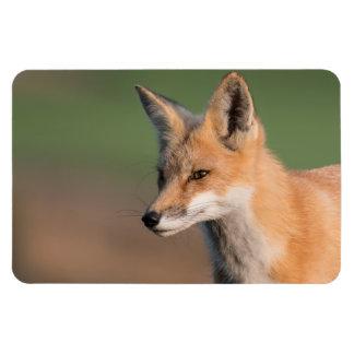 Red Fox Portrait Large Photo Magnet