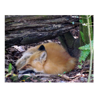 Red Fox Post Card