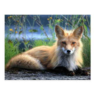 Red Fox Resting Postcard