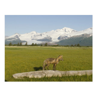 Red Fox, Vulpes fulva, on log, , Hallo Glacier Postcard