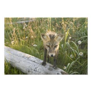 Red Fox, Vulpes fulva on log, Wildflowers, Photographic Print