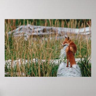 Red Fox, Vulpes vulpes, Alaska Peninsula, 2 Poster