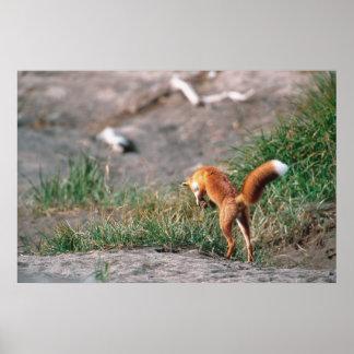 Red Fox, Vulpes vulpes, Alaska Peninsula, 3 Poster