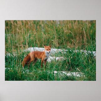 Red Fox, Vulpes vulpes, Alaska Peninsula, Poster