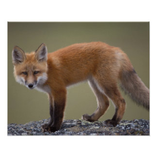 red fox, Vulpes vulpes, along the central North 2 Poster