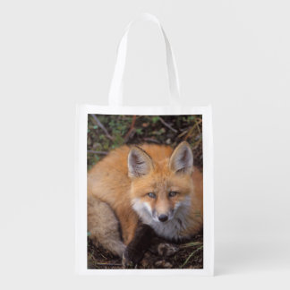 red fox, Vulpes vulpes, in fall colors along Grocery Bag