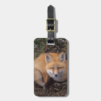 red fox, Vulpes vulpes, in fall colors along Luggage Tag