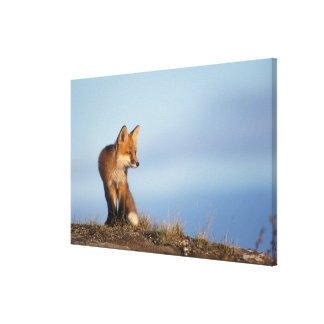 red fox, Vulpes vulpes, in the 1002 area of Stretched Canvas Prints