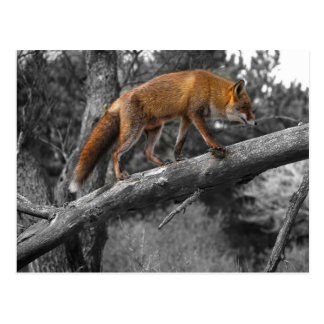 Red Fox With Color Accent Postcard