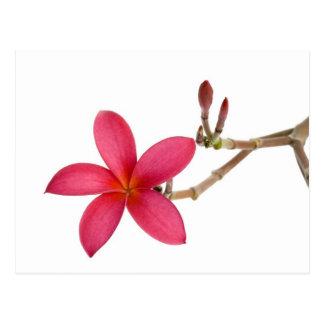 Red Frangipani flower Postcard