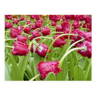 Red Fringed Tulips Postcard