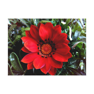 Red Gazania Canvas Print