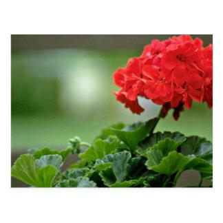 Red Geranium Blossom flowers Postcard