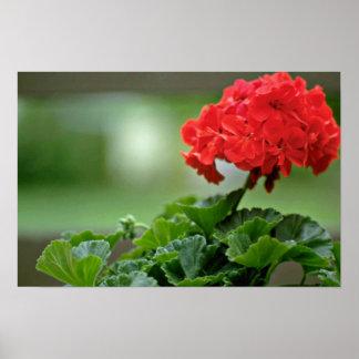 Red Geranium Blossom flowers Poster