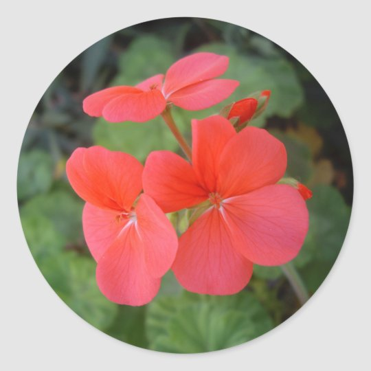 Red Geraniums Classic Round Sticker