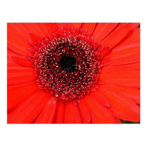 Red Gerbera Post Card