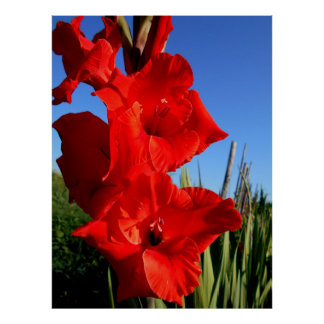 Red Gladiolus And The Blue Sky Poster