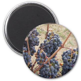 Red grapes on the vine . Tuscany, Italy 2 Inch Round Magnet