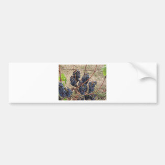 Red grapes on the vine . Tuscany, Italy Bumper Sticker