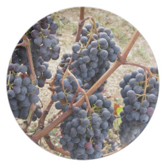 Red grapes on the vine . Tuscany, Italy Dinner Plate