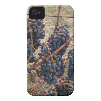 Red grapes on the vine . Tuscany, Italy iPhone 4 Cases