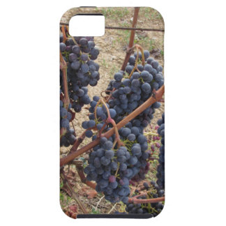 Red grapes on the vine . Tuscany, Italy iPhone 5 Cases