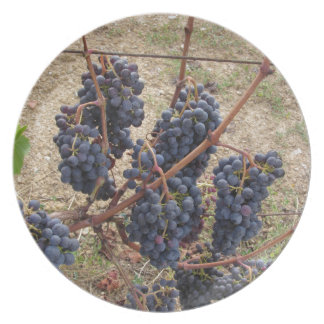 Red grapes on the vine . Tuscany, Italy Party Plates