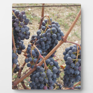 Red grapes on the vine . Tuscany, Italy Plaque