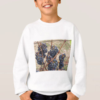Red grapes on the vine . Tuscany, Italy Sweatshirt
