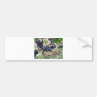 Red grapes on the vine with green leaves bumper sticker