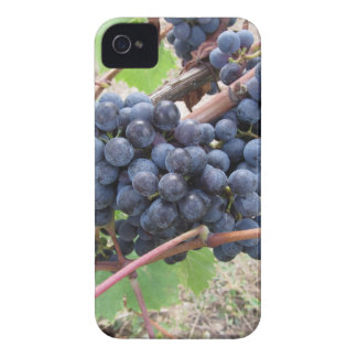 Red grapes on the vine with green leaves iPhone 4 Case-Mate cases