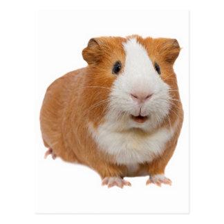 red guinea pig postcard