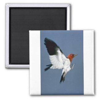 Red-headed Woodpecker in flight Magnet